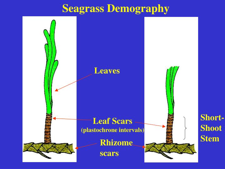 Seagrass Demography