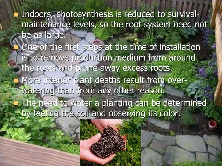 Indoors, photosynthesis is reduced to survival-maintenance levels, so the root system need not be as large.