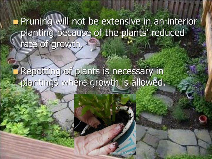 Pruning will not be extensive in an interior planting because of the plants' reduced rate of growth.