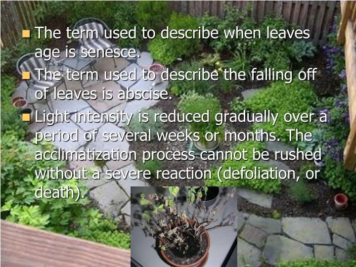 The term used to describe when leaves age is senesce.