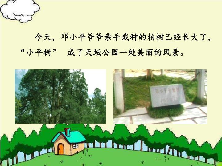 """今天,邓小平爷爷亲手栽种的柏树已经长大了,""""小平树""""   成了天坛公园一处美丽的风景。"""