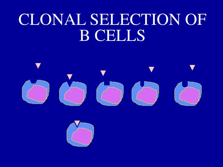 CLONAL SELECTION OF B CELLS