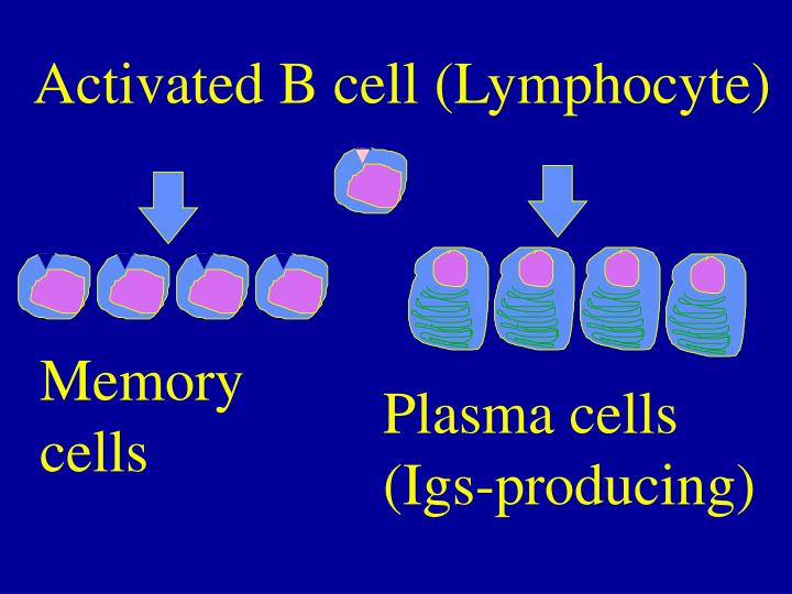 Activated B cell (Lymphocyte)