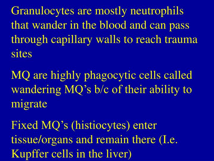 Granulocytes are mostly neutrophils that wander in the blood and can pass through capillary walls to reach trauma sites