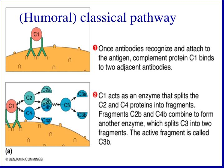 (Humoral) classical pathway