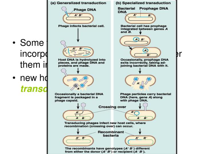 Some types of bacteriophages can incorporate bacterial genes and transfer them into
