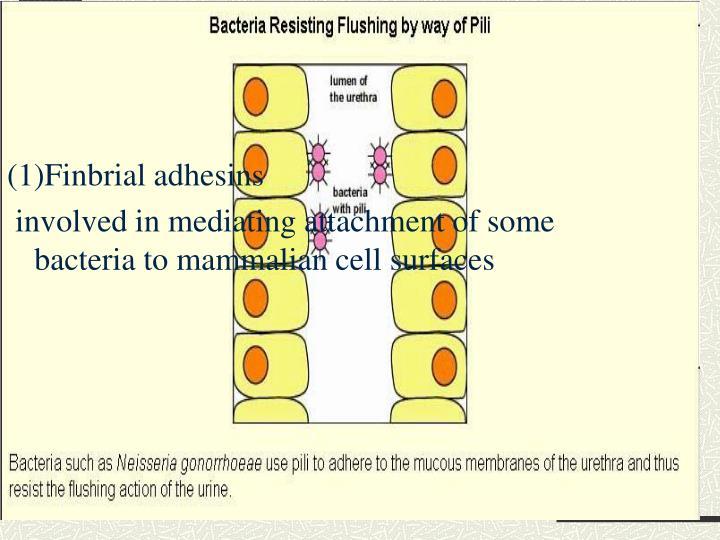 (1)Finbrial adhesins
