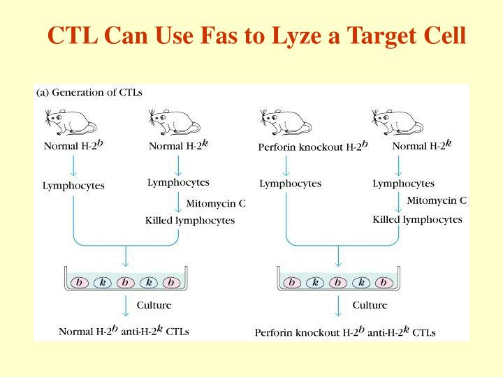 CTL Can Use Fas to Lyze a Target Cell