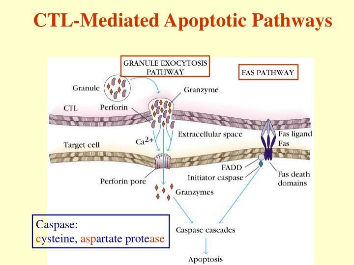 CTL-Mediated Apoptotic Pathways