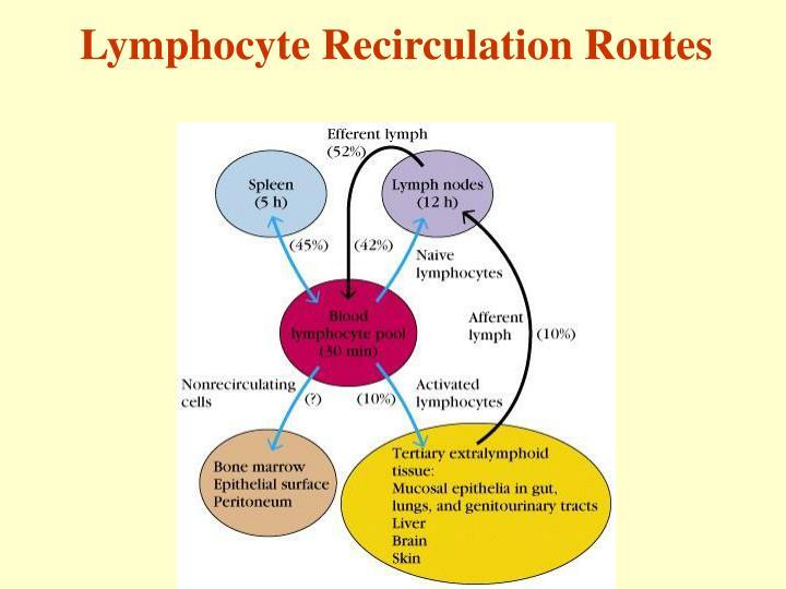 Lymphocyte Recirculation Routes