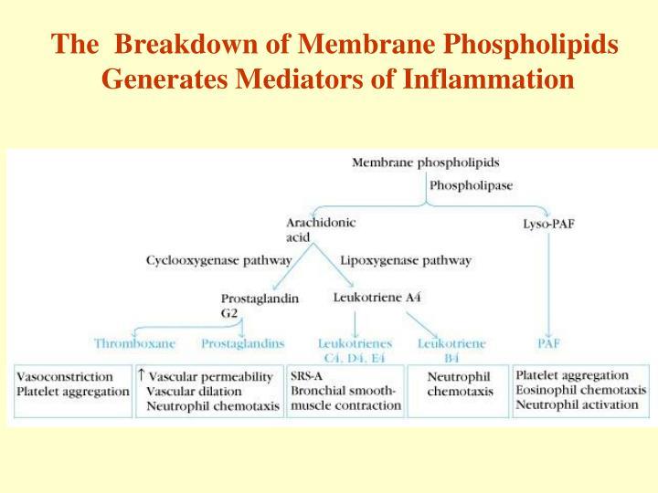 The  Breakdown of Membrane Phospholipids
