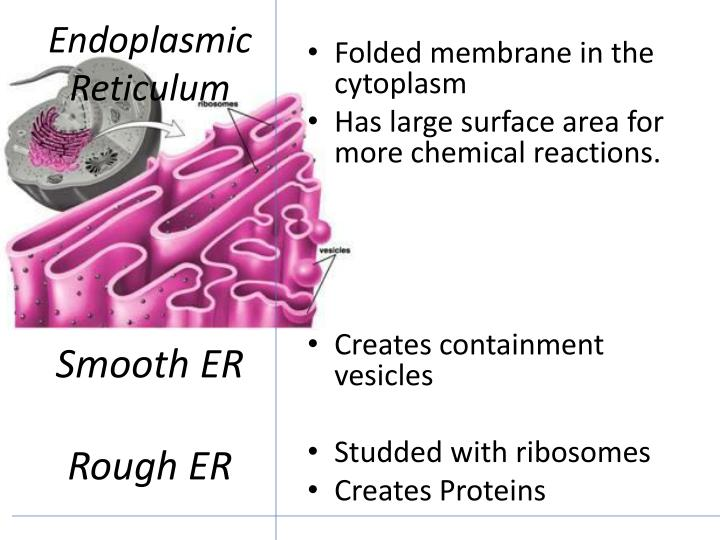 Endoplasmic