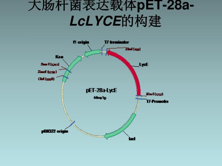 大肠杆菌表达载体