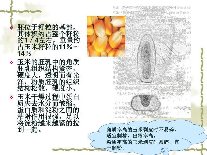胚位于籽粒的基部,其体积约占整个籽粒的