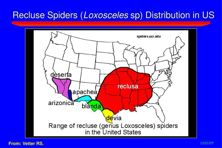 Recluse Spiders (