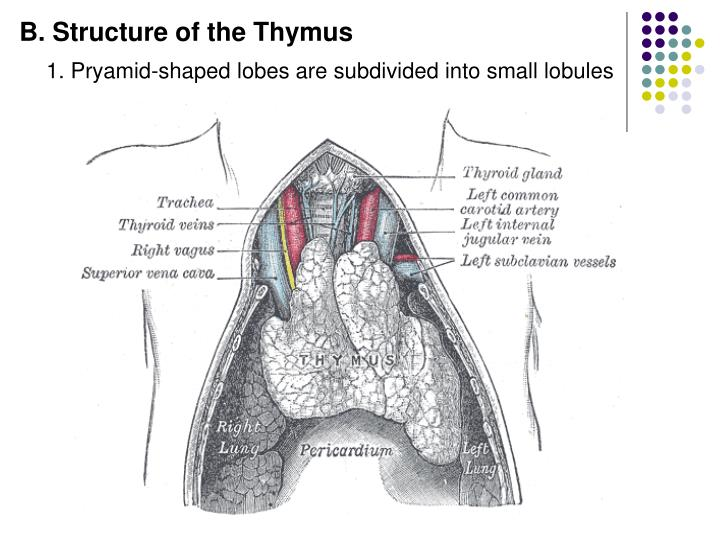 B. Structure of the Thymus