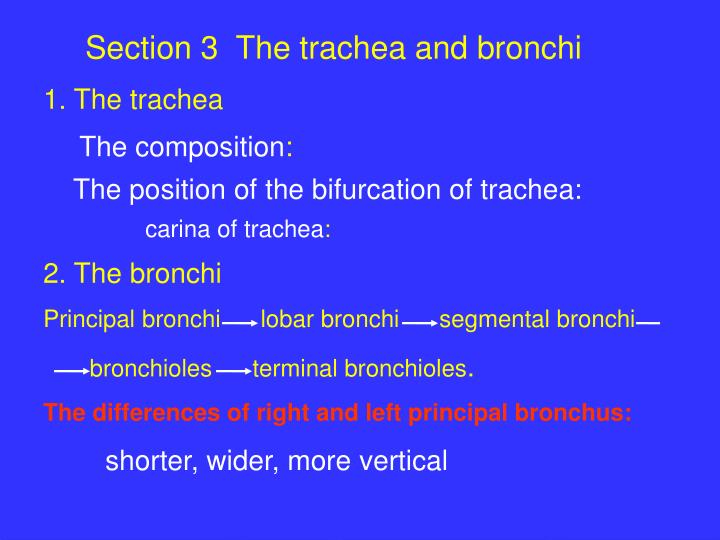 Section 3  The trachea and bronchi