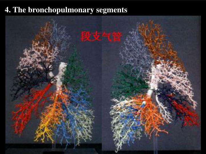 4. The bronchopulmonary segments