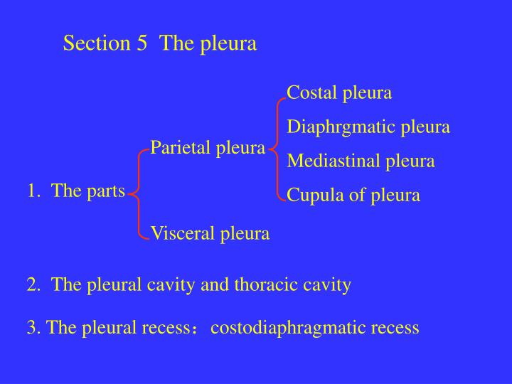 Section 5  The pleura