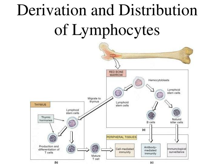 Derivation and Distribution of Lymphocytes
