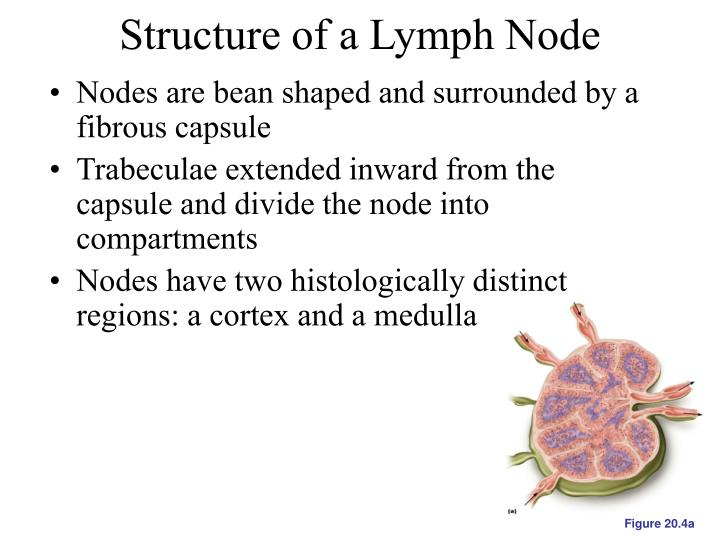 Structure of a Lymph Node