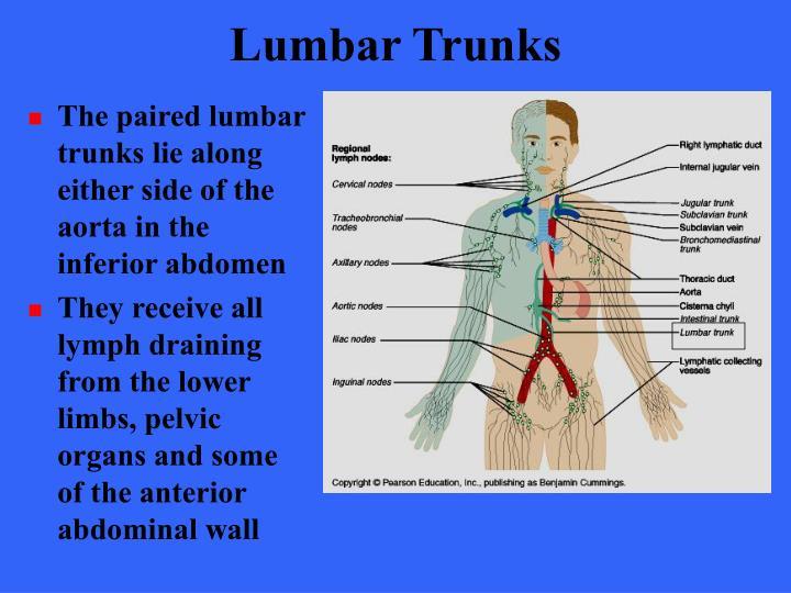 Lumbar Trunks