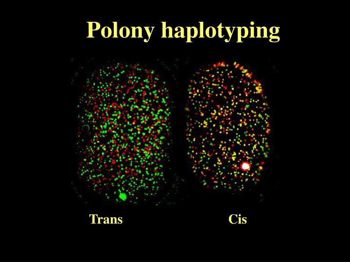 Polony haplotyping