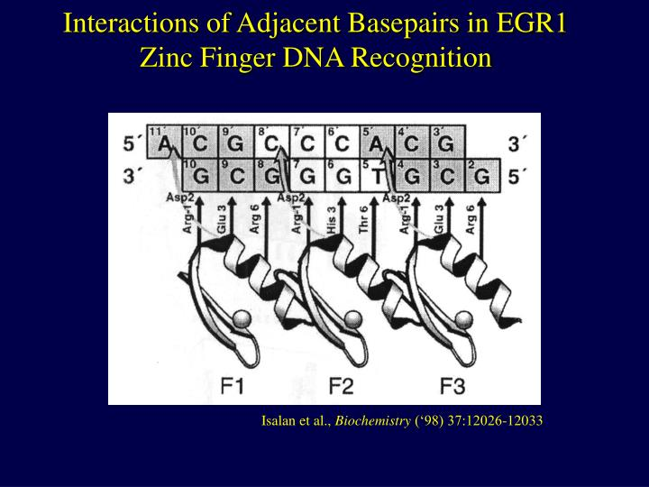 Interactions of Adjacent Basepairs in EGR1