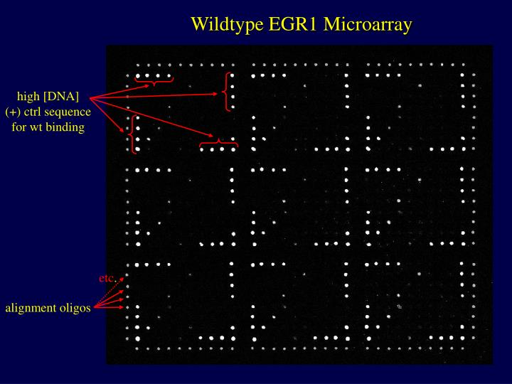 Wildtype EGR1 Microarray