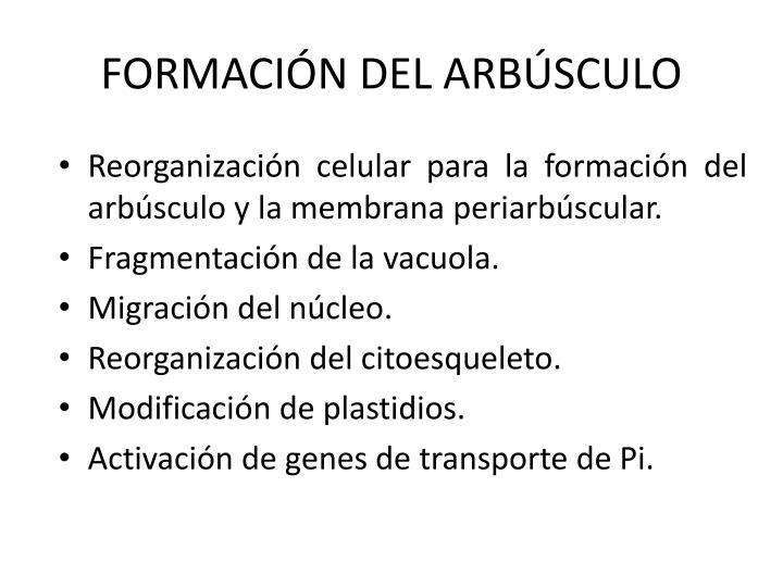 FORMACIÓN DEL ARBÚSCULO