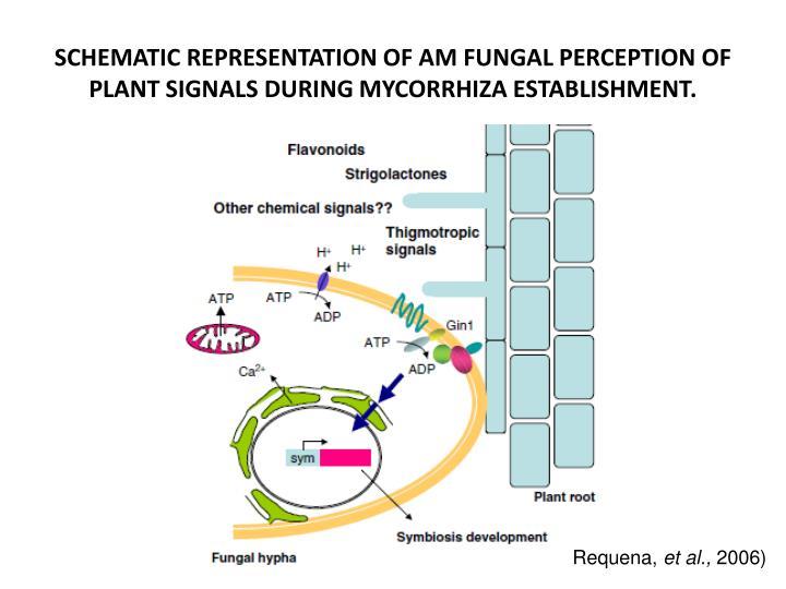 SCHEMATIC REPRESENTATION OF AM FUNGAL PERCEPTION OF PLANT SIGNALS