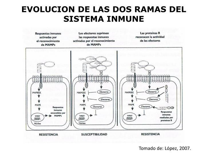 EVOLUCION DE LAS DOS RAMAS DEL SISTEMA INMUNE
