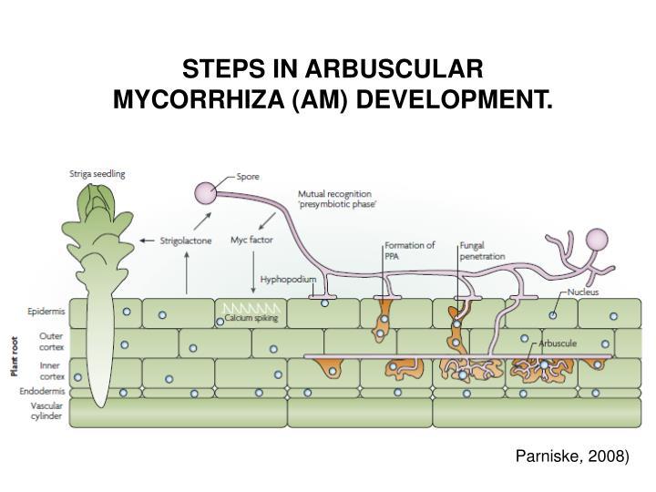 STEPS IN ARBUSCULAR MYCORRHIZA (AM) DEVELOPMENT.