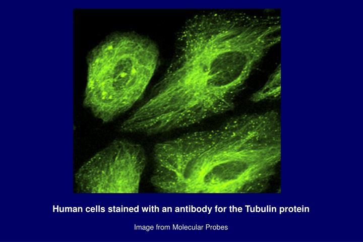 Human cells stained with an antibody for the Tubulin protein