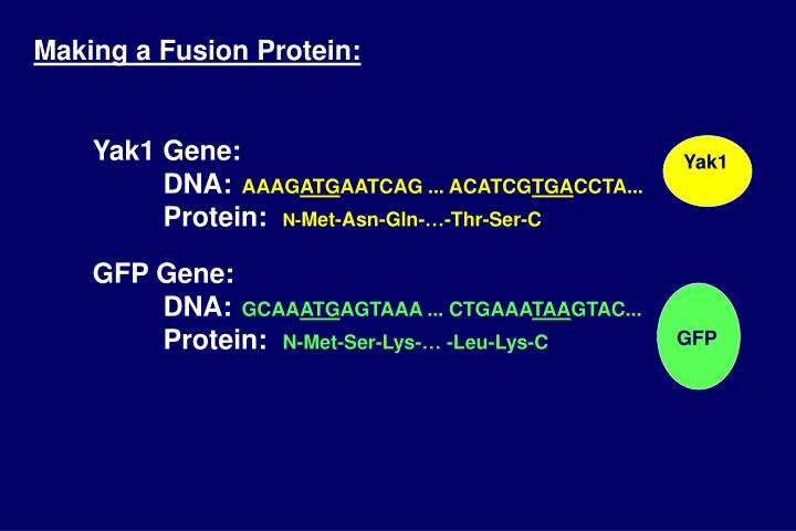 Making a Fusion Protein: