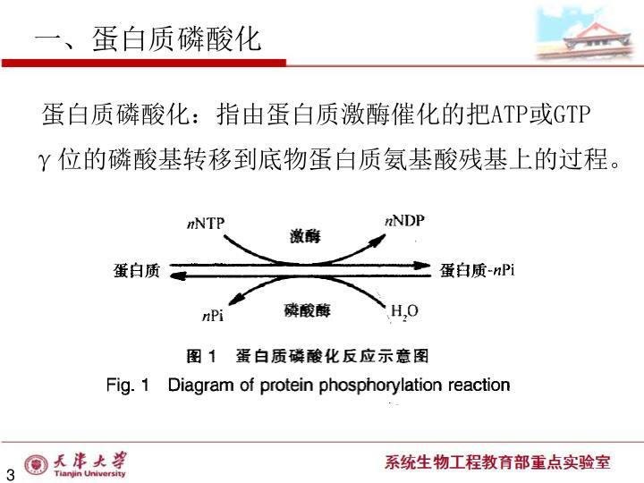 一、蛋白质磷酸化