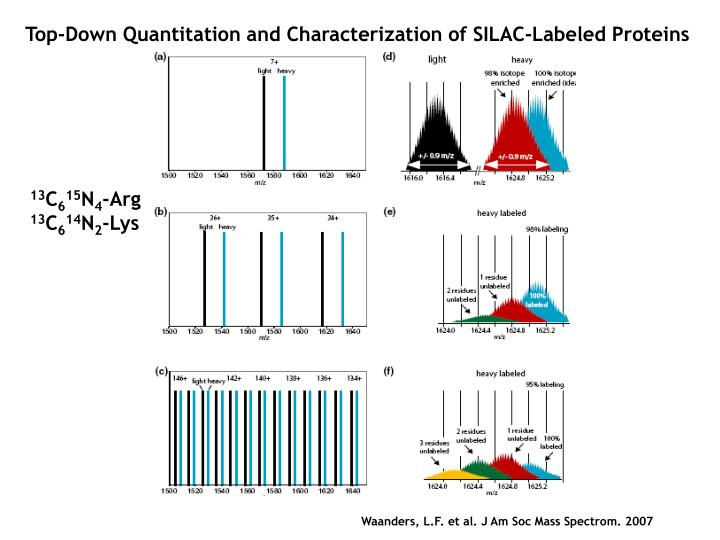 Top-Down Quantitation and Characterization of SILAC-Labeled Proteins