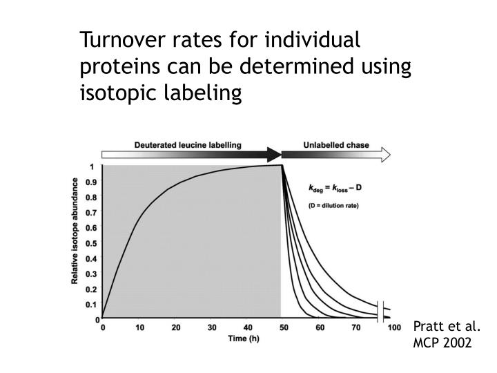 Turnover rates for individual proteins can be determined using isotopic labeling