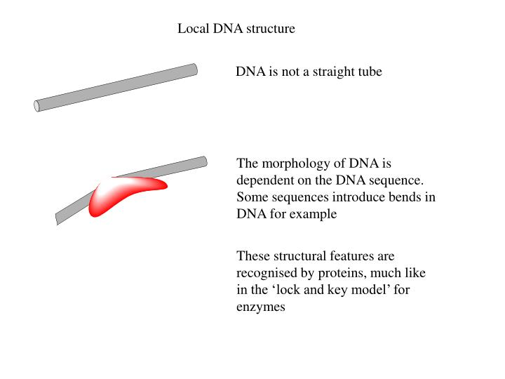 The morphology of DNA is dependent on the DNA sequence. Some sequences introduce bends in DNA for ex...