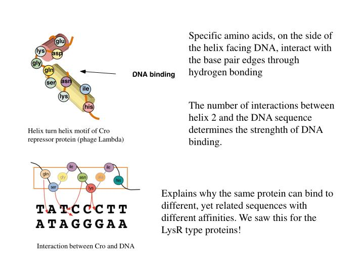 Specific amino acids, on the side of the helix facing DNA, interact with the base pair edges through hydrogen bonding