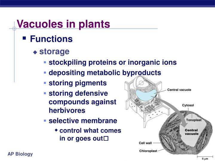 Vacuoles in plants