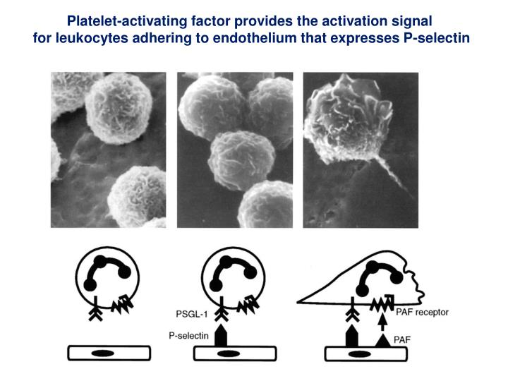 Platelet-activating factor provides the activation signal