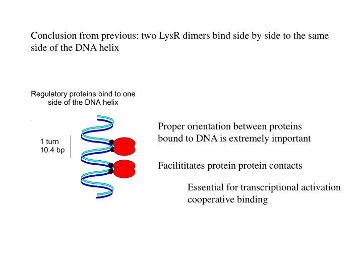 Conclusion from previous: two LysR dimers bind side by side to the same side of the DNA helix