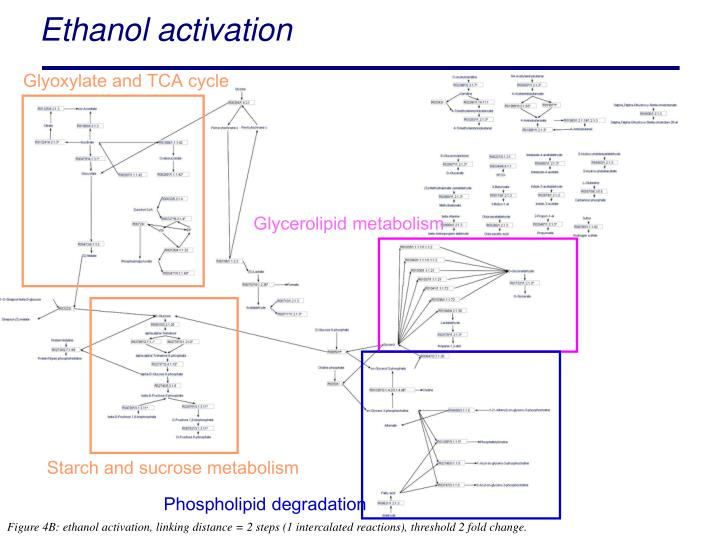 Glyoxylate and TCA cycle