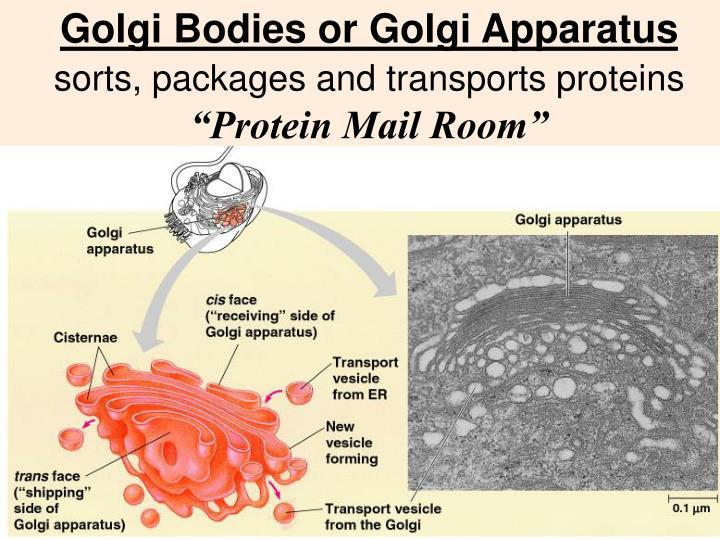 Golgi Bodies or Golgi Apparatus