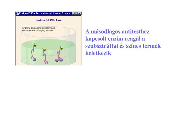 A másodlagos antitesthez kapcsolt enzim reagál a szubsztráttal és színes termék keletkezik