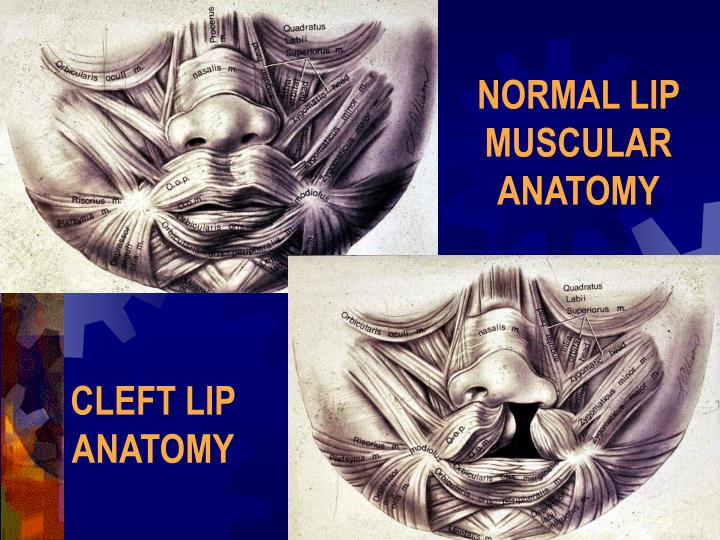 NORMAL LIP MUSCULAR ANATOMY