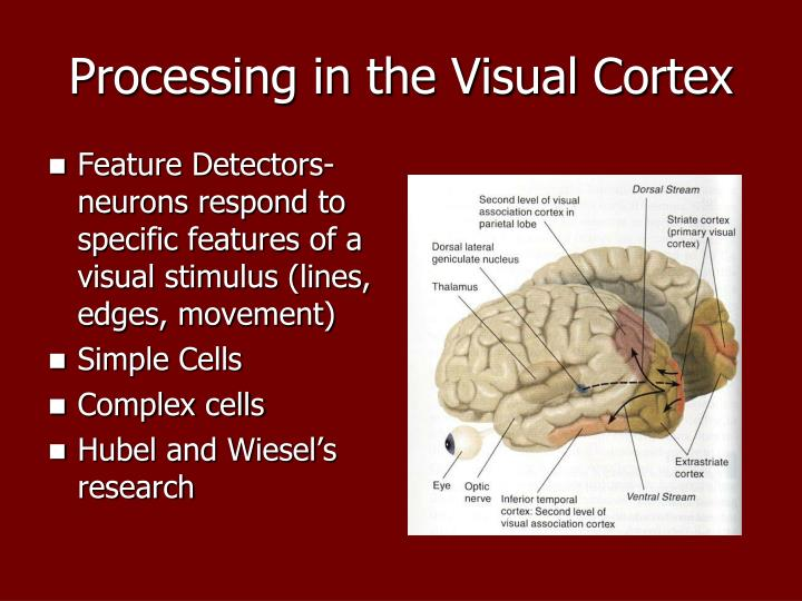 Processing in the Visual Cortex