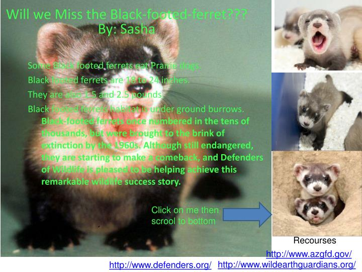 Will we Miss the Black-footed-ferret???