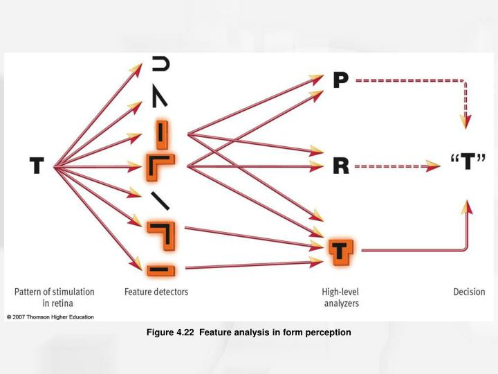 Figure 4.22  Feature analysis in form perception